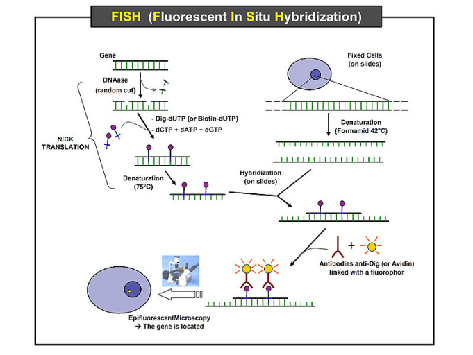 Fluorescence In Situ Hybridization Fish Protocol Creative Biomart