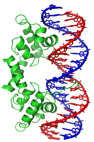 The λ repressor of bacteriophage lambda employs two helix-turn-helix motifs (left; green) to bind DNA (right; blue and red). The λ repressor protein in this image is a dimer.