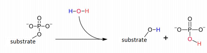 The general reaction catalyzed by a phosphatase enzyme.