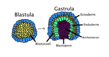 Gastrulation occurs when a blastula, made up of one layer, folds inward and enlarges to create a gastrula.
