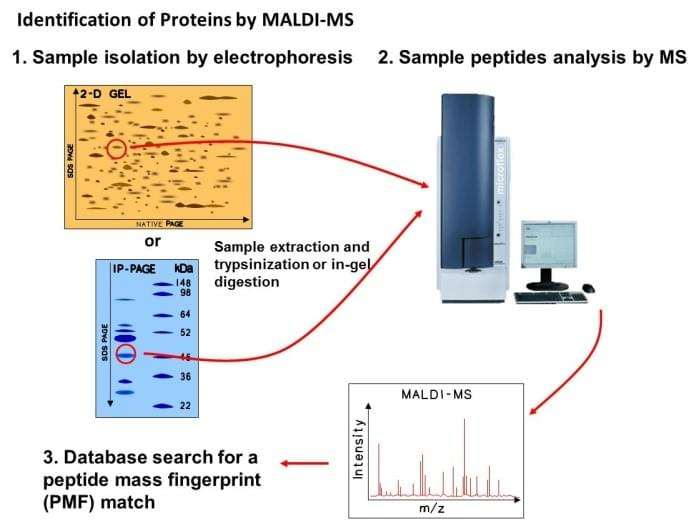 Peptide analysis by 2D-PAGE-MS protocol