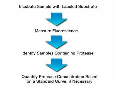 Protease Assay Service