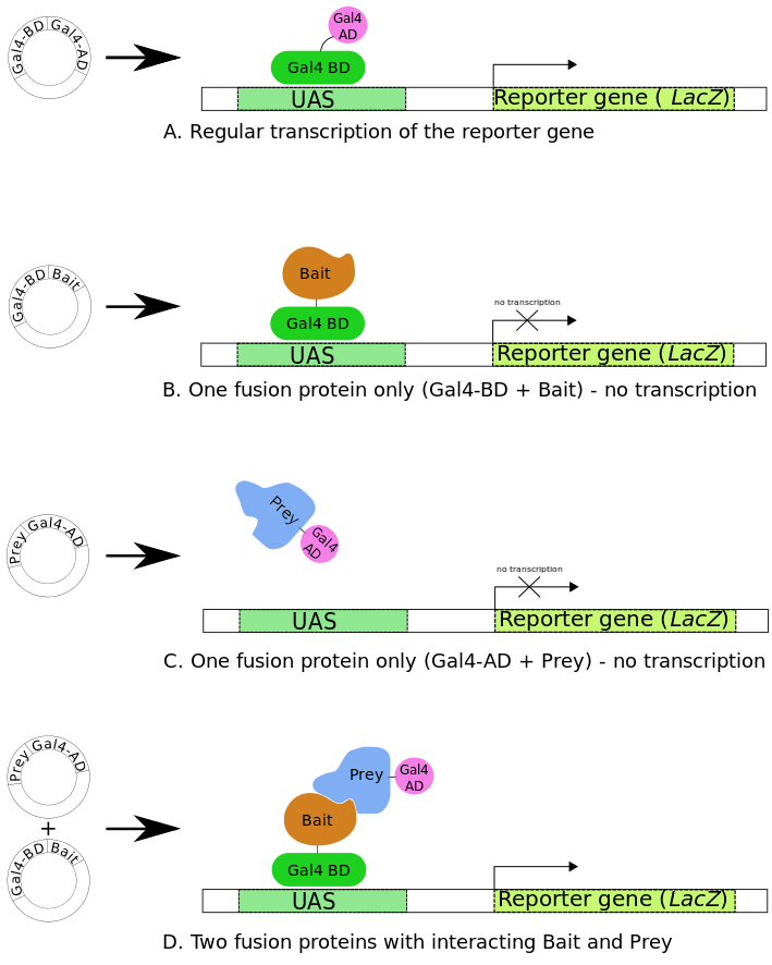 Protein Interaction (3) Yeast-Two-Hybrid Assay