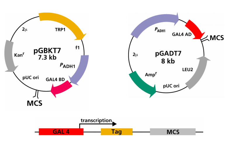 Plasmids used in Y2H