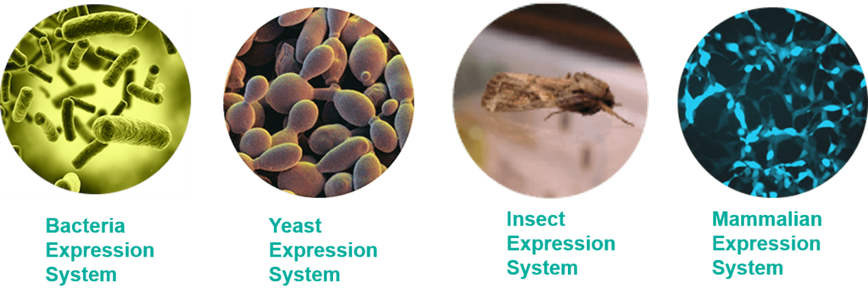 Recombinant Protein and Its Expression Systems - Creative