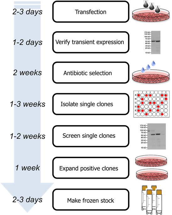 Stable  cell line development