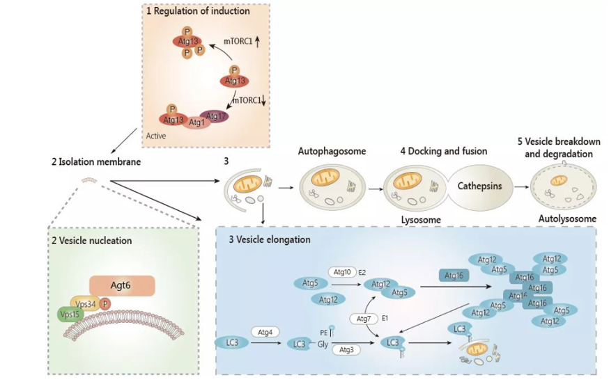 Molecular mechanism of autophagy formation.