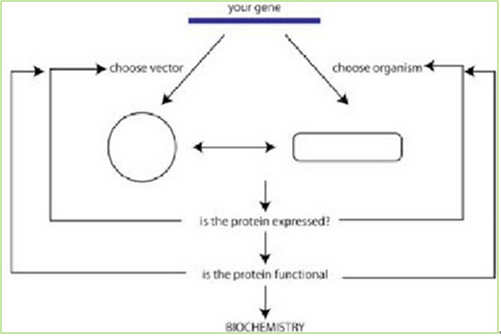 How to make recombinant proteins